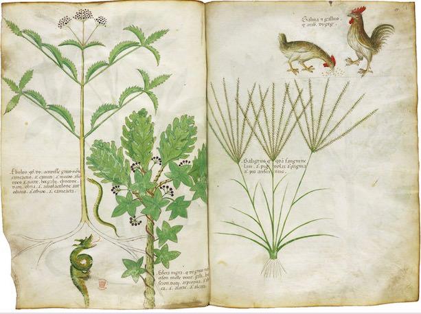 「薬草書」 15世紀 大英図書館蔵 ©British Library Board